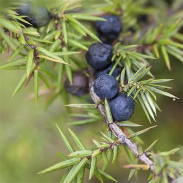Atlantic Aromatics Juniper Berry Oil 5ml
