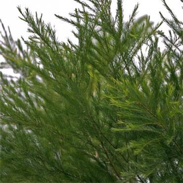 Atlantic Aromatics Organic Tea Tree Oil 10ml