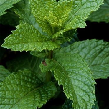 Atlantic Aromatics Spearmint 5ml