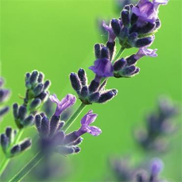 Atlantic Aromatics Organic Lavender Water 100ml