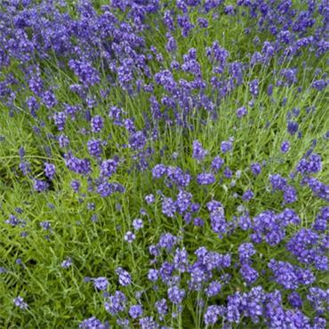 Atlantic Aromatics Lavender Oil 5ml