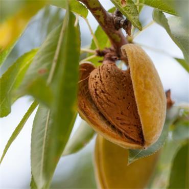 Atlantic Aromatics Organic Almond Oil 50ml