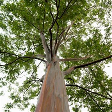 Atlantic Aromatics Organic Eucalyptus Oil