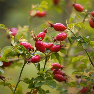 Atlantic Aromatics Organic Rosehip Seed Oil 20ml