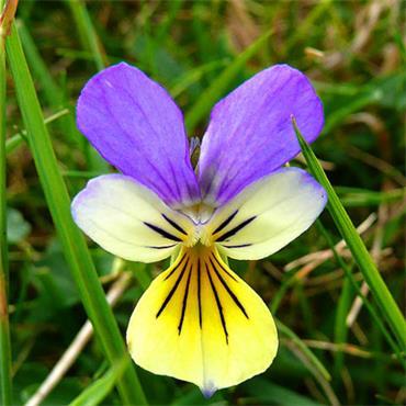 A.Vogel Viola tricolor (Wild Pansy) 50ml