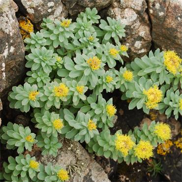 Nature's Answer Rhodiola Root 30ml