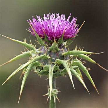 Nature's Answer Milk Thistle  (Alcohol Free) 30ml