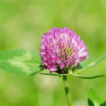Nature's Answer Red Clover Tops 30ml