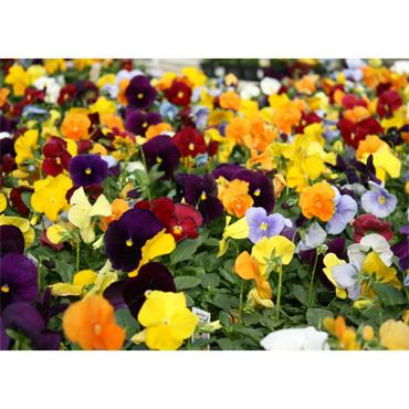 PANSY MIXED 6 PACK