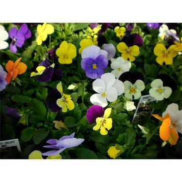 VIOLA MIXED 6 PACK CLICK AND COLLECT ONLY