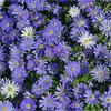 "ANEMONE BLANDA BLUE - ""Bulb of the Year"""