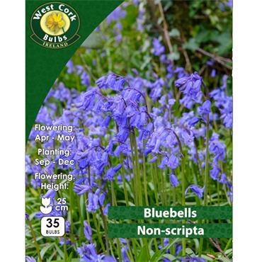 BLUEBELL BULBS PACK 35