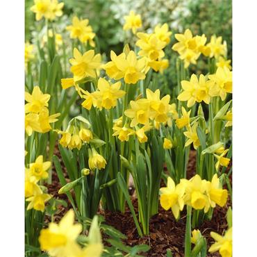 DAFFODILS TETE A TETE PACK OF 10