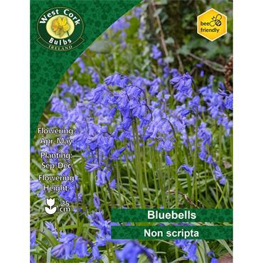 BLUEBELL BULBS PACK 7