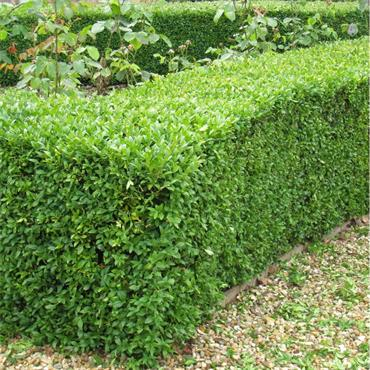 BUXUS 6 PACK BOX HEDGING