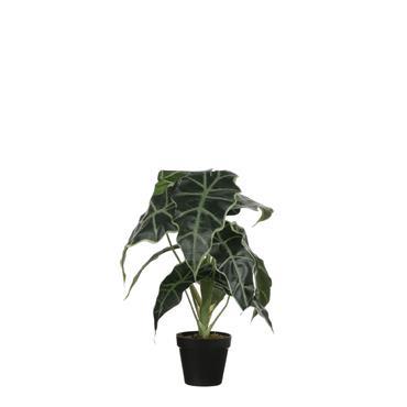 Edelman Alocasia In Plastic Pot Green