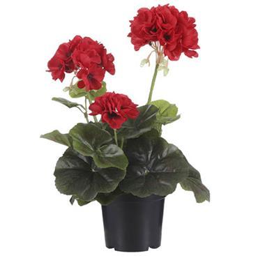 Edelman Geranium In Plastic Pot Red