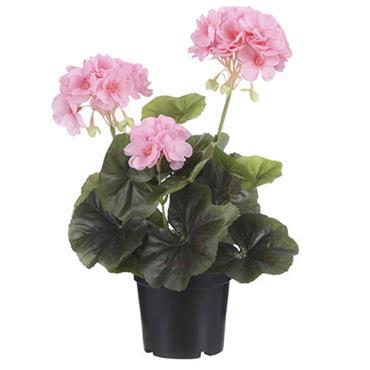 Edelman Geranium In Plastic Pot Pink
