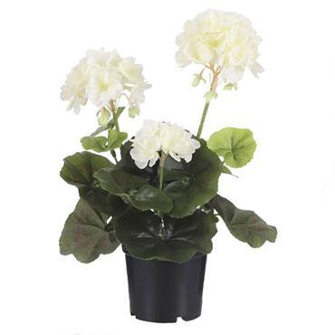 Edelman Geranium In Plastic Pot Cream