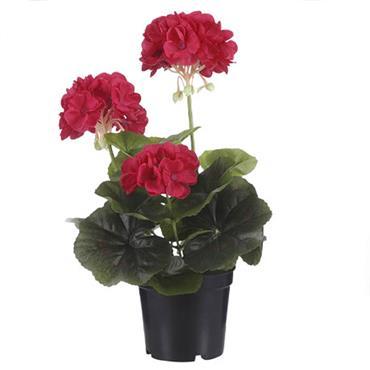 Edelman Geranium In Plastic Pot Dark Pink