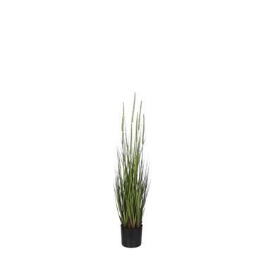 Edelman Dogtail Grass Green in Pot
