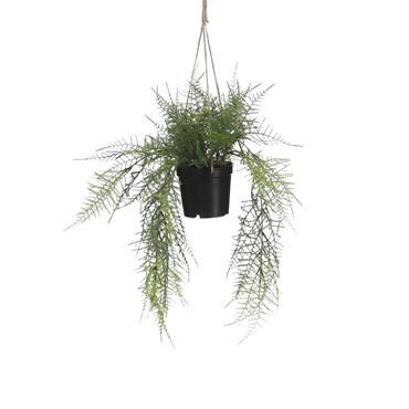 Edelman Fern Hanging Green In Pot