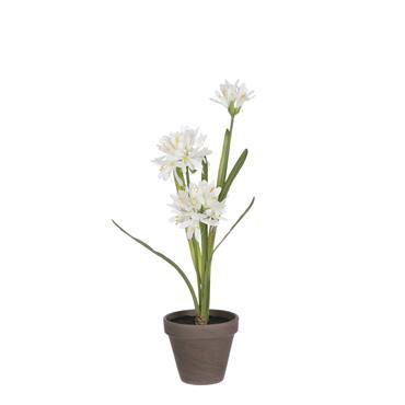 Edelman Agapanthus White In Grey Pot