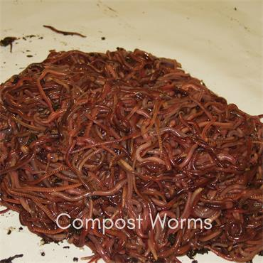 Worm Works Composting worms