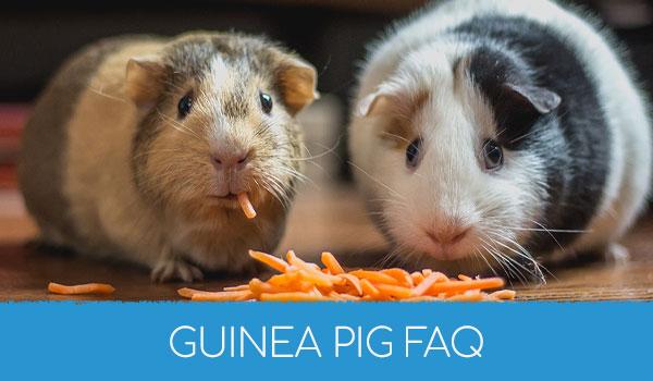 Guinea Pig FAQ